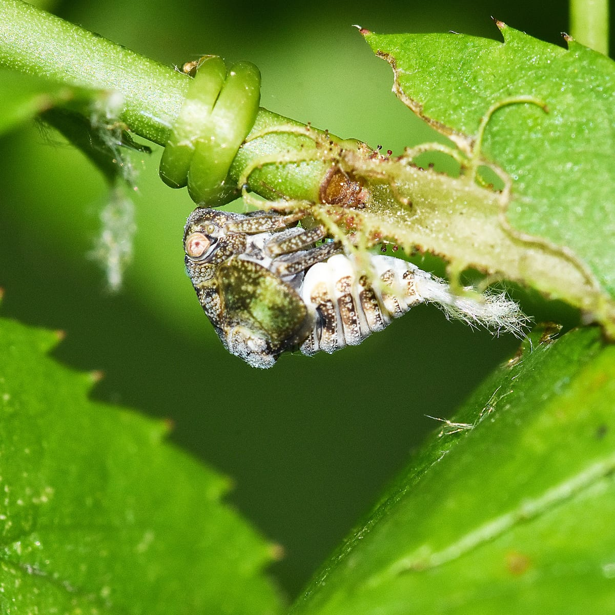 Learn About the Planthopper