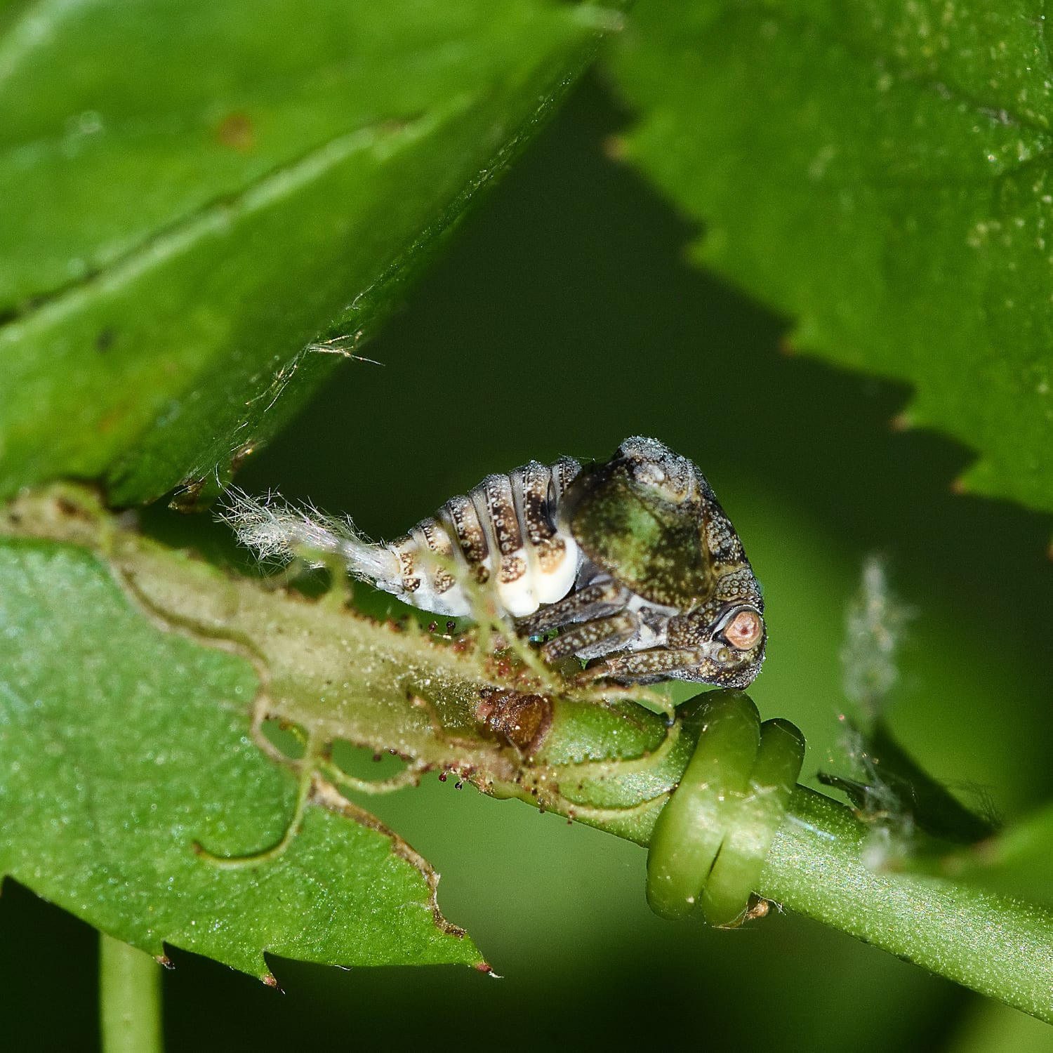 There is Much To Learn About The Acanaloniidd Planthopper