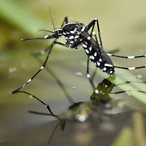 Learn More About Aedes Albopictus Mosquitos