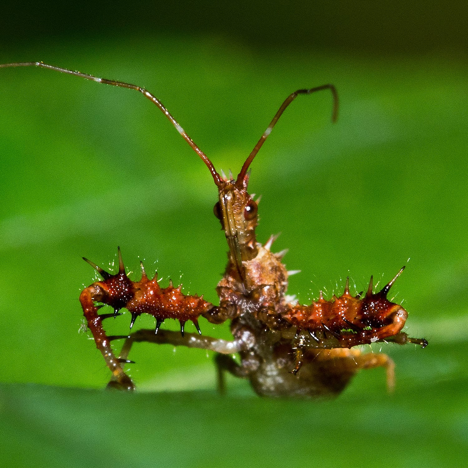 The Brutal Nature of The Assassin Bug