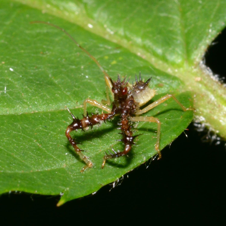 The Brutal Assassin Bug