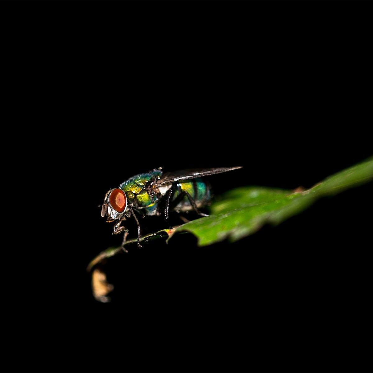 Bottle Fly on a Leaf