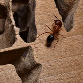 Learn More About Carpenter Ants