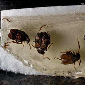 Cowpea Weevils