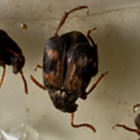 The Cowpea Weevils Close-Up