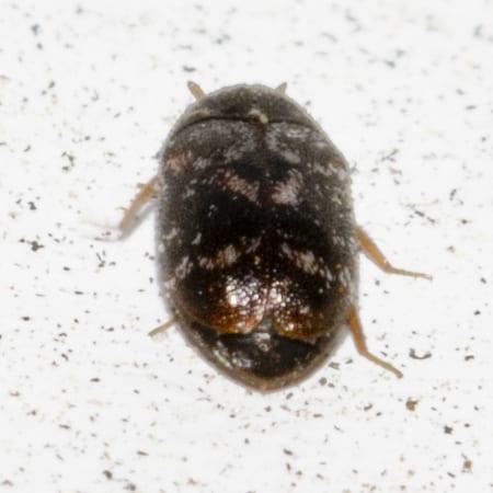Dermestid Beetle Back