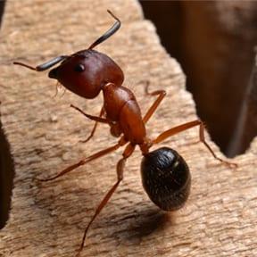 The Florida Carpenter Ant