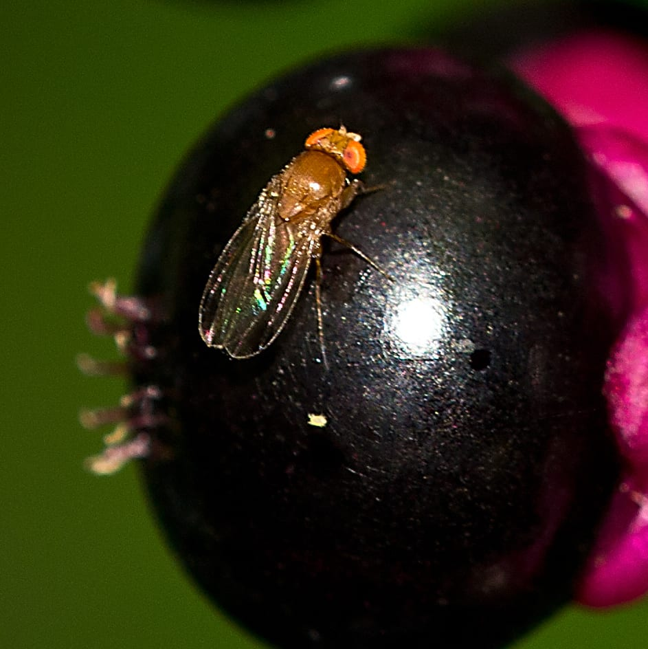 Fruit Fly on Berries