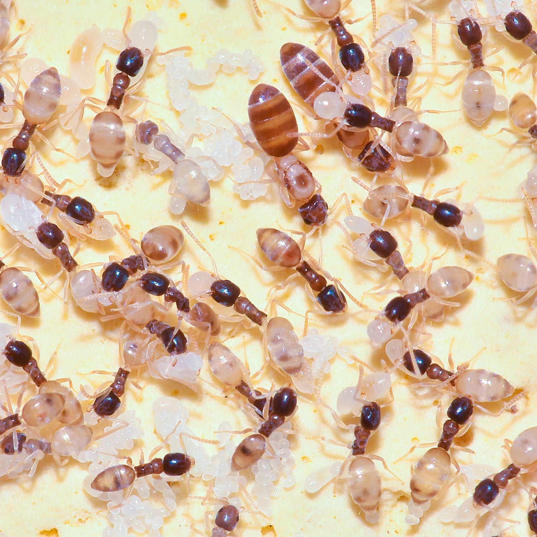 Ghost Ant Larvae