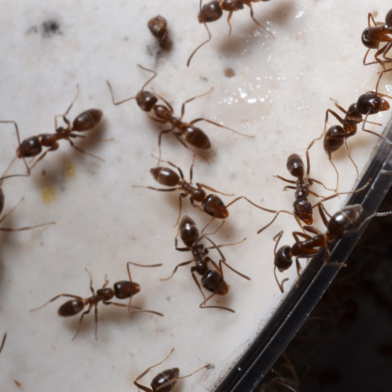 Learn More About Argentine Ants