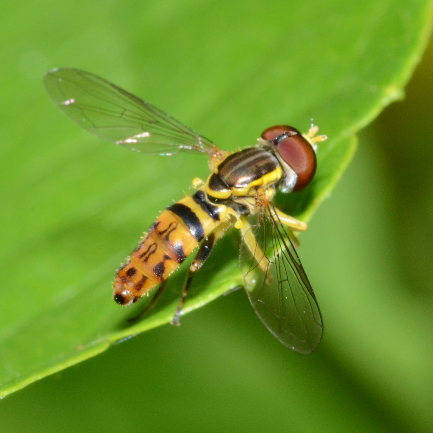 The Backside of a Hover Fly