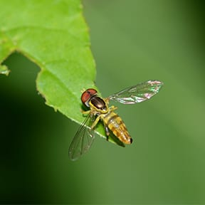 The Hover Fly