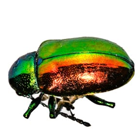 The Iridescent Beetle