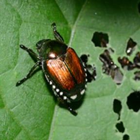 Japanese Beetle Example
