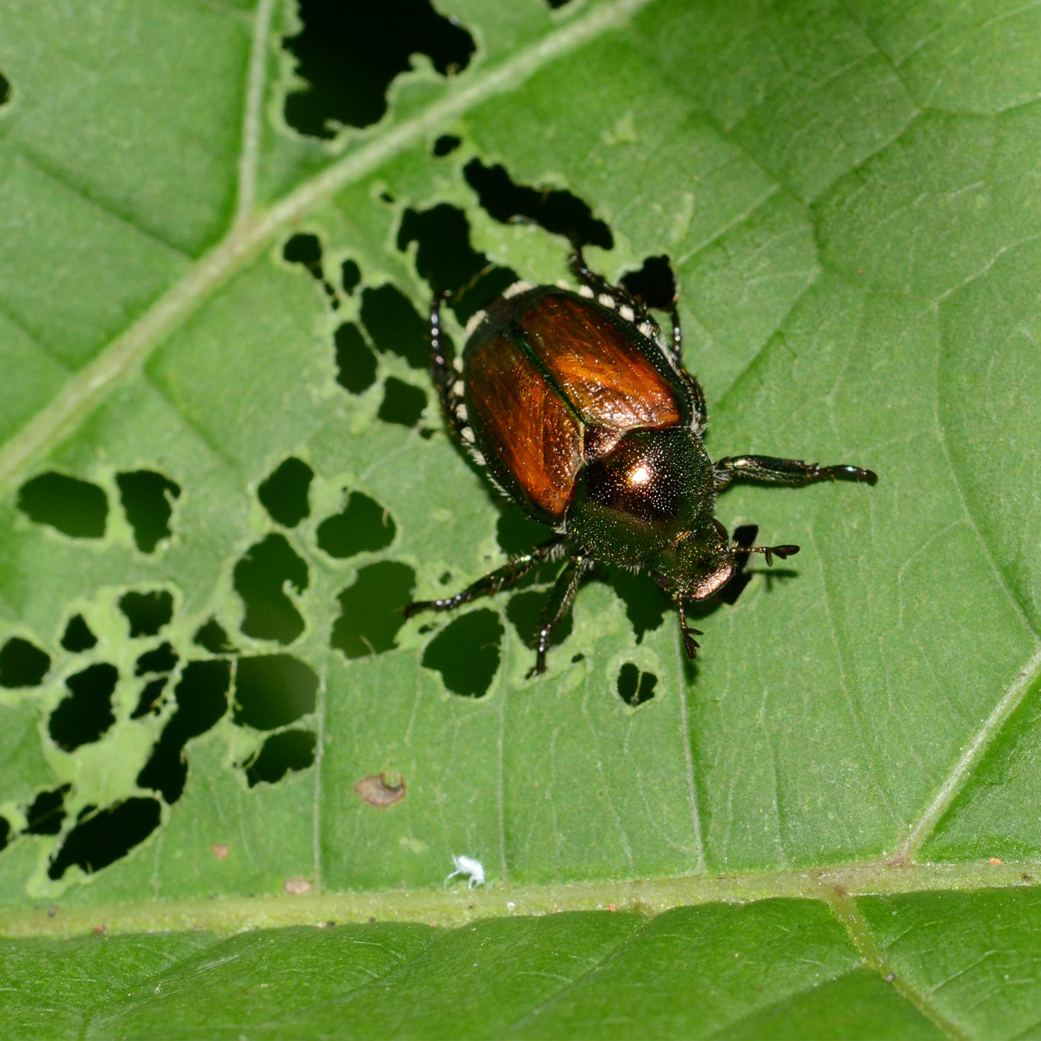 Leaf Damage by the Japanese Beetle