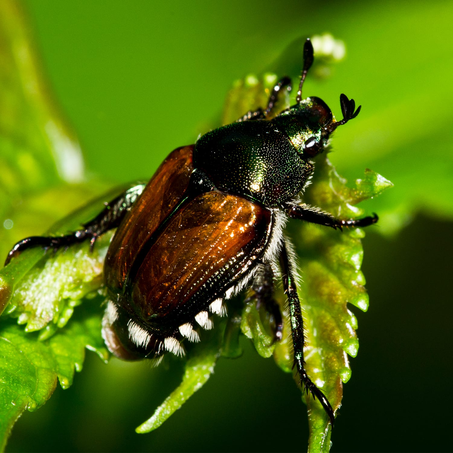 The Japanese Beetle