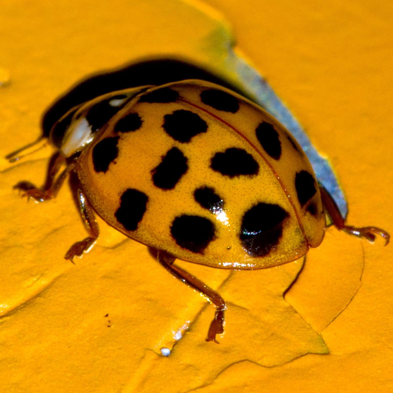 The Ladybug Back