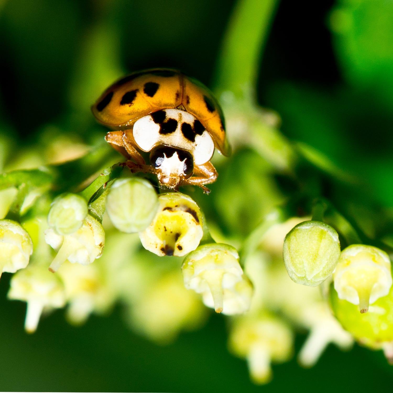 A Ladybug Face