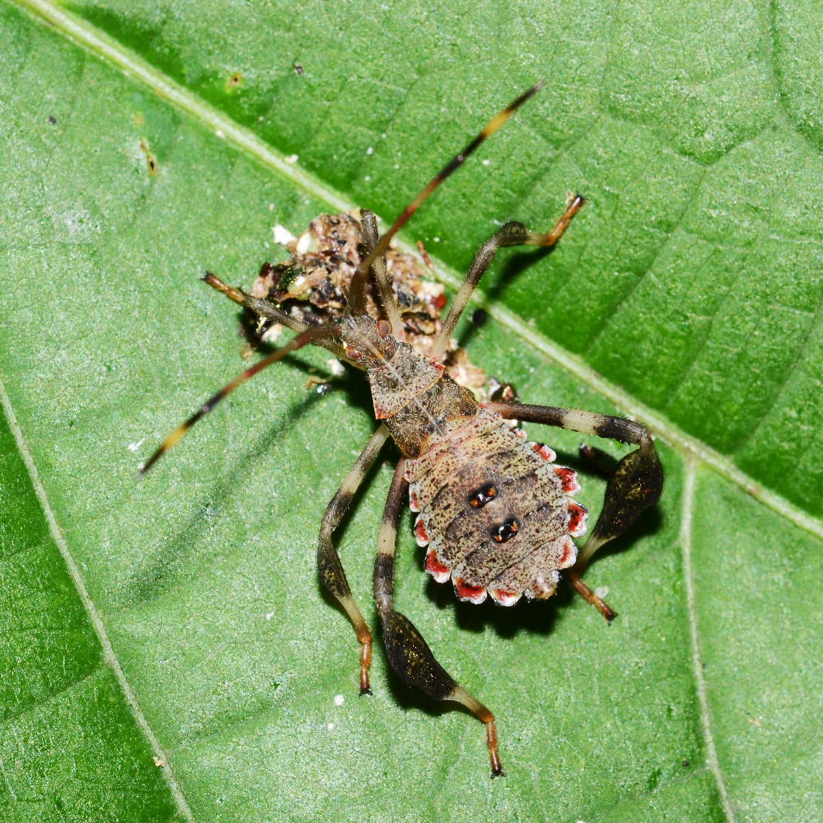 The Leaf Footed Bug