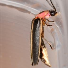 Lightning Bug Side Profile