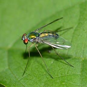 The Longlegged Fly
