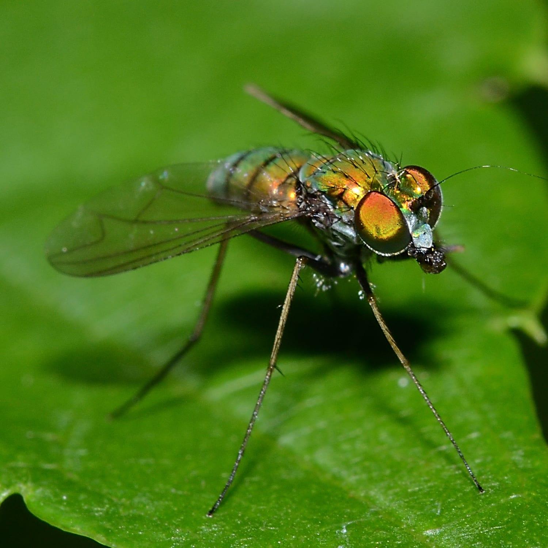 Long-Legged Fly Side of Face