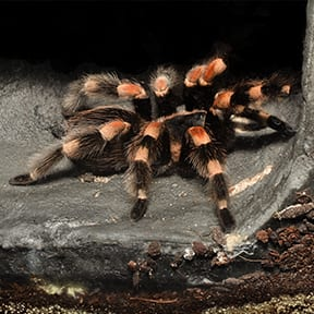 The Mexican Red-Kneed Tarantula