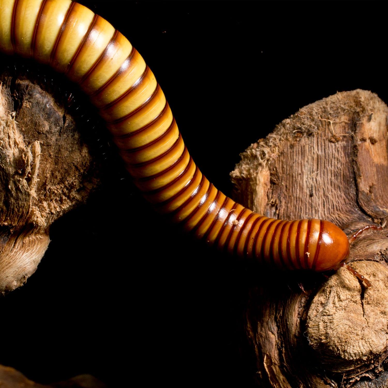 The Millipede Body