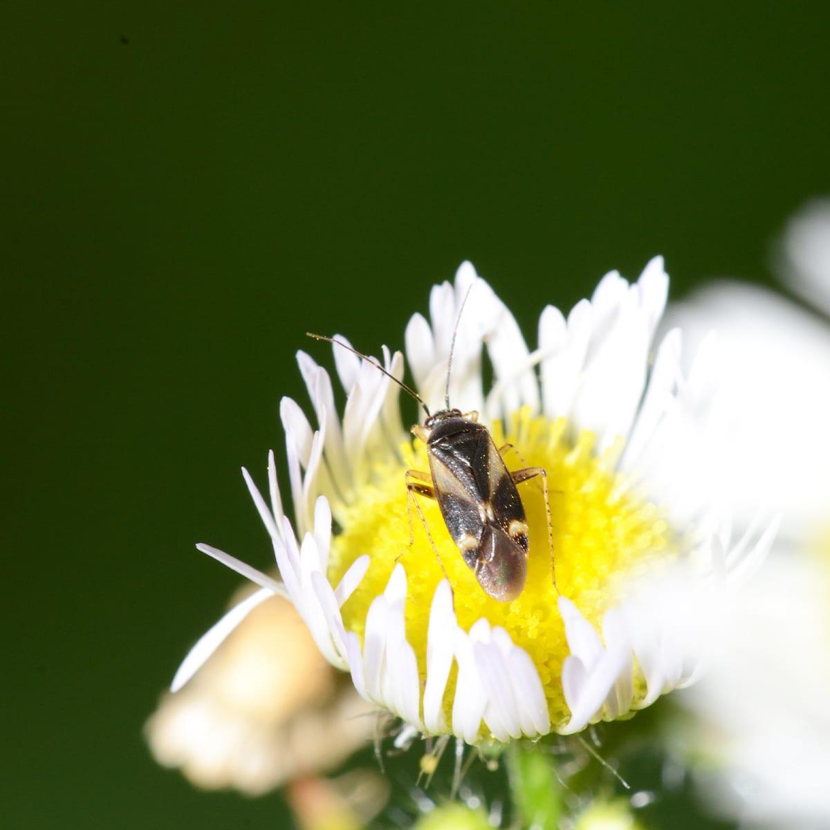 Mini Pirate Bug