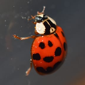 The Multicolored Asian Lady Beetle