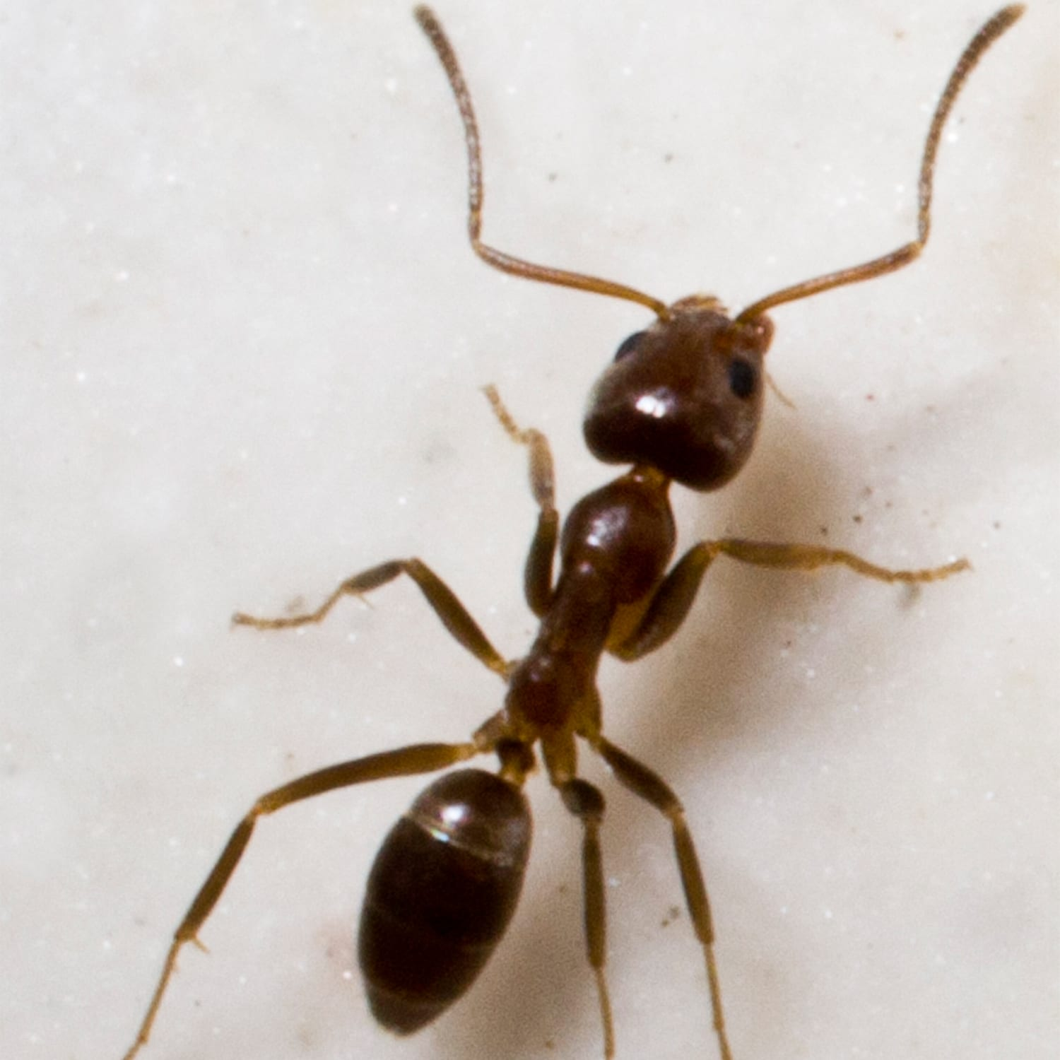 The Argentine Ant