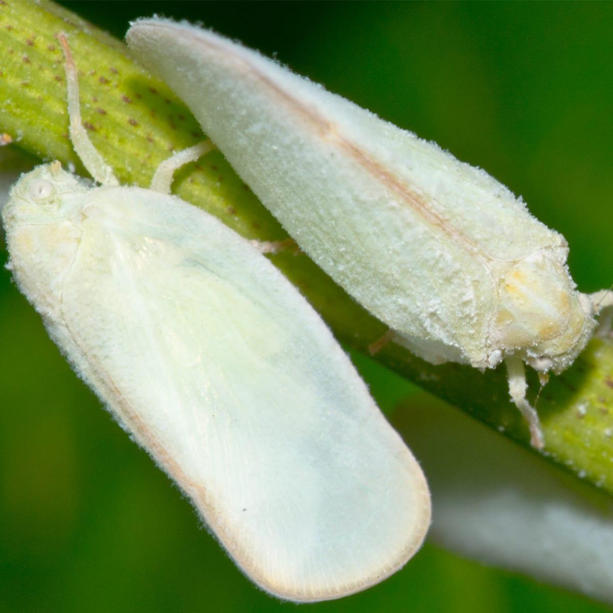 Planthopper-Body