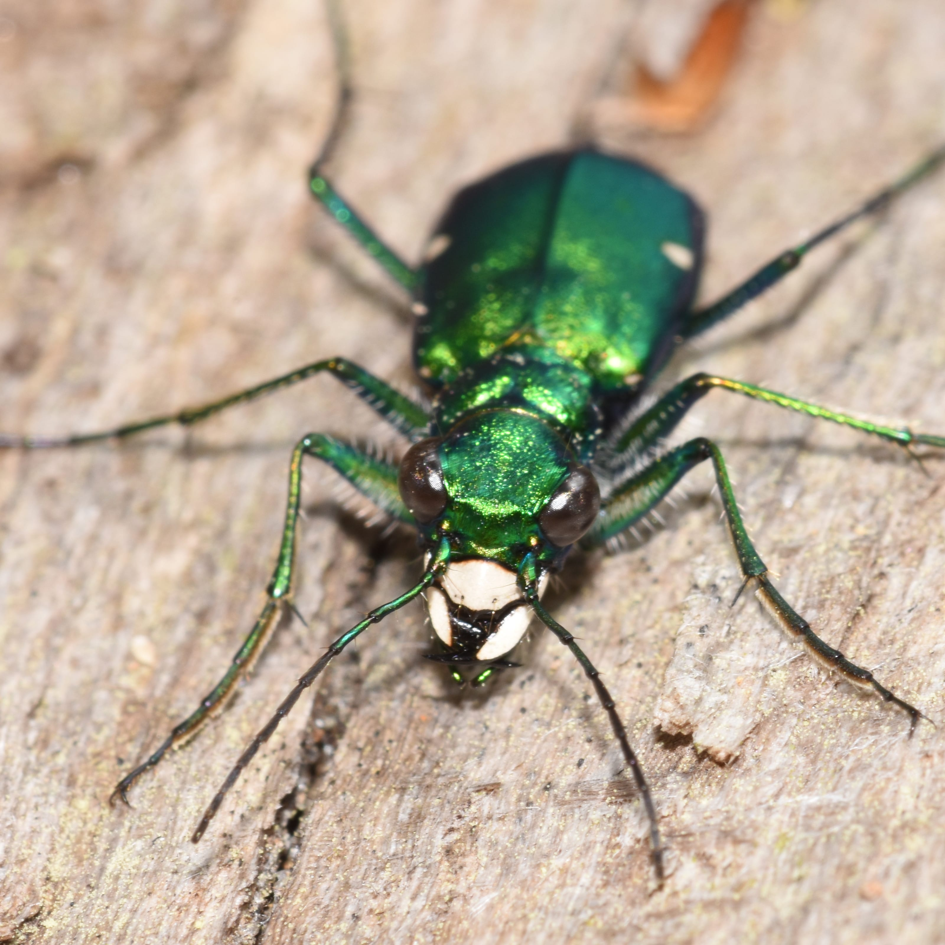 Six spotted tiger beetle front