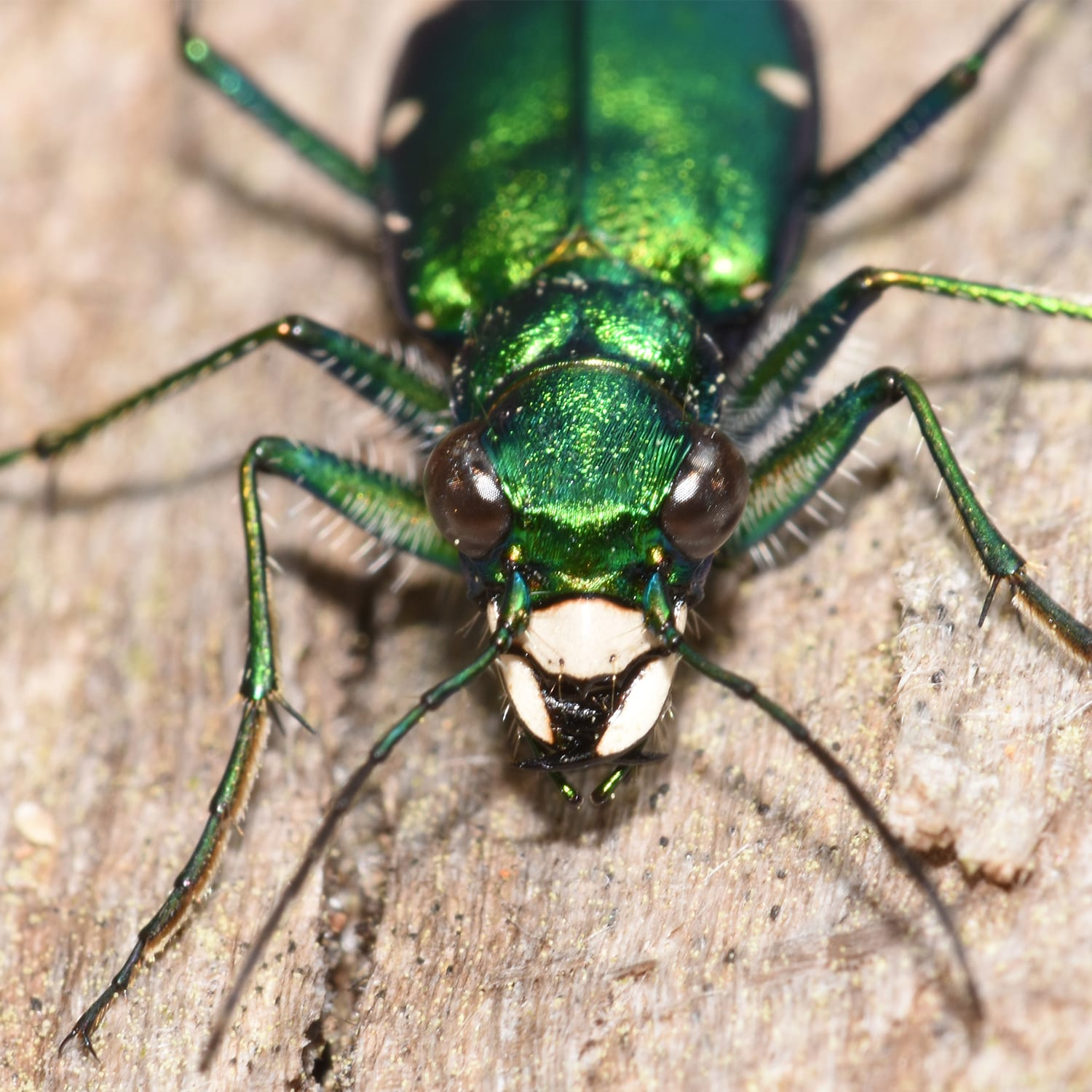 The Six Spotted Tiger Beetle Face