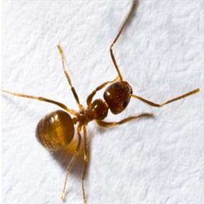 Tawny Asian Ant