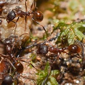 The Tertramorium Ant