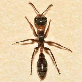 Twig Ant