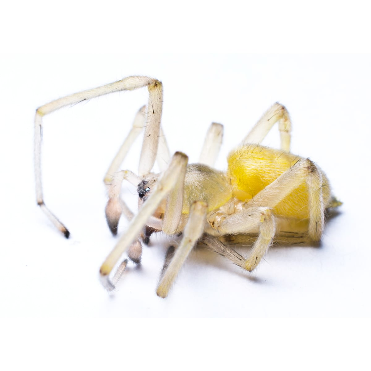 A Yellow Sac Spider