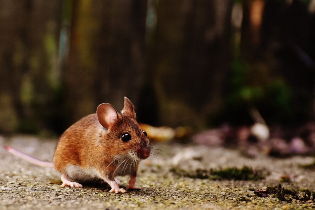 aaa exterminating in indianapolis indiana can help remove rodents from your home