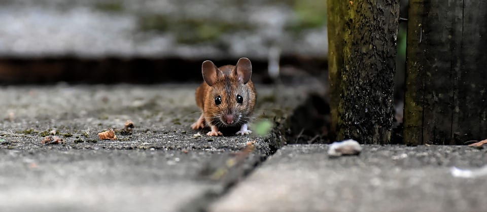 aaa exterminating in indianapolis indiana will identify the rodent and use the most effective trapping methods