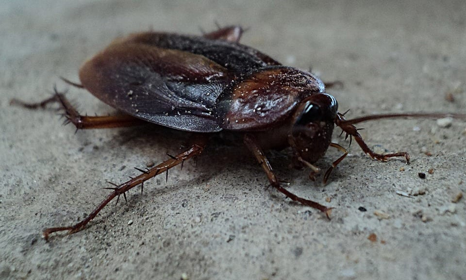 cockroaches are a common pest in indianapolis protect your home from them with aaa exterminating
