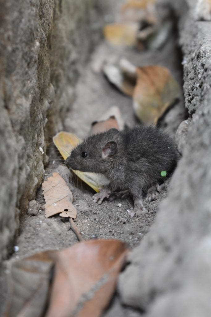 if you have mice in your indianapolis home call aaa exterminating
