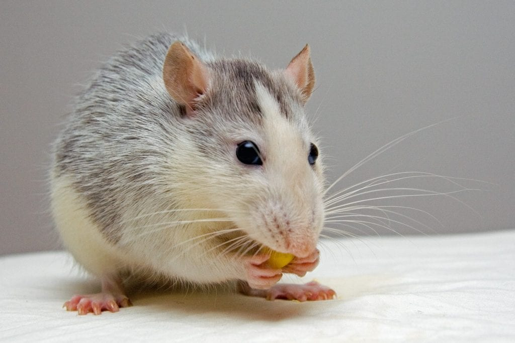learn tips from aaa exterminating in indianapolis indiana to stop mice infestations