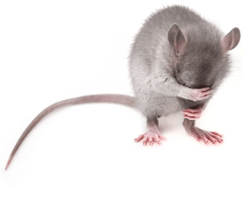 prevent rodent infestations with these helpful tips from aaa exterminating