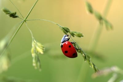 exterminate ladybugs in your home this spring with aaa exterminating