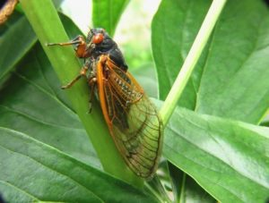 learn more the periodical cicada takeover