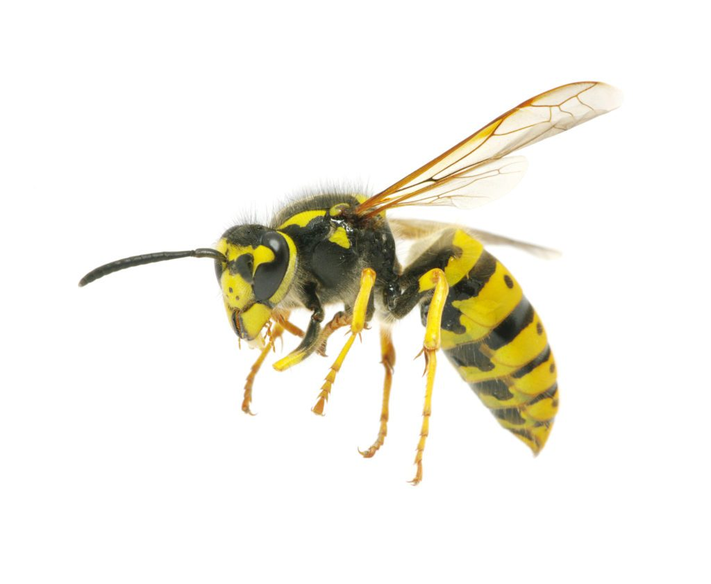 Yellowjacket safe removal service