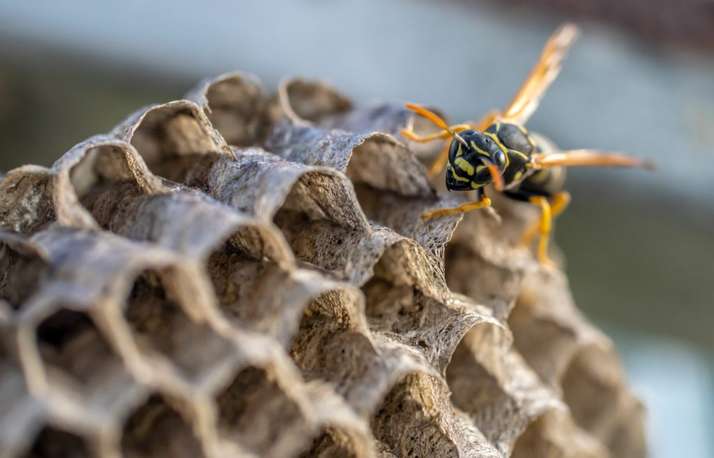 Honey comb shaped yellow jacket nest